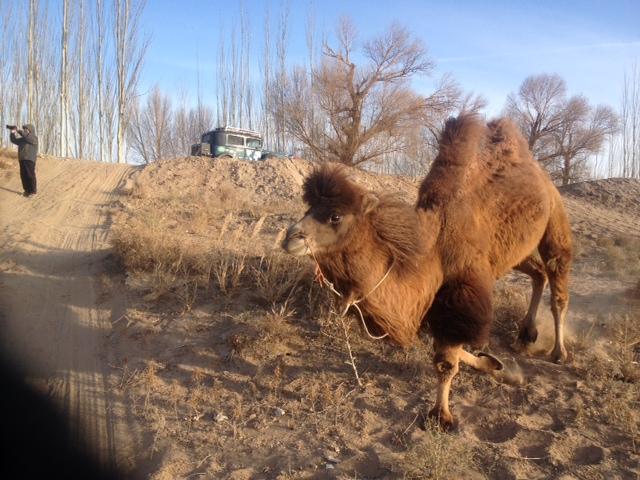 Mit den Kamelen spielen und Mr.Wang filmt fleißig