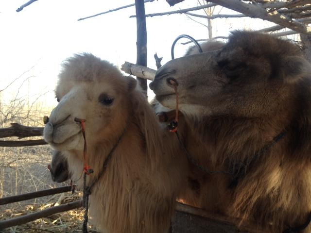 Jede Familie hat hier ein Kamel so wie wir einen Hund, nur der Hund gehört zur Familie, aber das Kamel ist der wirtschaftliche Ernährer.