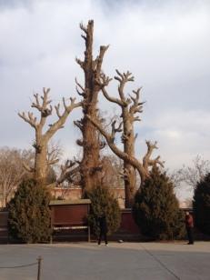 Drei uralte wunderschöne Bäume? Denkste, nur der mittlere ist echt, die beiden anderen sind aus Plastik oder Zement.